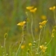 Yellow Buttercups in Meadow - VideoHive Item for Sale