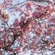 Sakura Tree - VideoHive Item for Sale