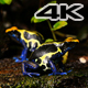 Blue and Yellow Poison Dart Frog Couple - VideoHive Item for Sale