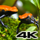 Strawberry Poison Dart Frog Couple Dendrobates Pumilio - VideoHive Item for Sale