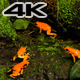 Golden Poison Terribilis Arrow Frog Group - VideoHive Item for Sale