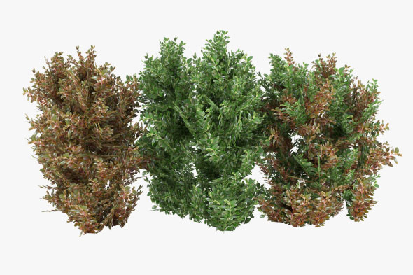Alternanthera Shrubs - 3DOcean Item for Sale