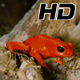 Strawberry Poison Dart Frog Dendrobates Pumilio - VideoHive Item for Sale