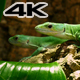Green Lactide Lizards Gastropholis Prasina Couple - VideoHive Item for Sale