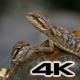 Pogona Reptile Lizard Couple - VideoHive Item for Sale