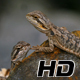 Pogona Reptile Lizard Couple - VideoHive Item for Sale