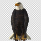 Eagle Standing - VideoHive Item for Sale