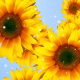 Flower Sunflower - VideoHive Item for Sale