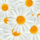Flowers White Chamomile - VideoHive Item for Sale