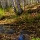 The Creek Flows Through a Sunny Autumn Birch Forest
