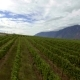 Aerial Low Level Flight Over Vineyard in the Okanagan - VideoHive Item for Sale