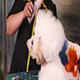 Bichon Frise Dog in Pet Salon Nulled