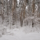 Snowy Forest with  Lot of Pine Trees Nulled