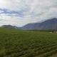 Aerial Low Level Flight Backwards Over Vineyard in the Okanagan Nulled