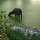 Water Buffalo Bathing in the Pond, Asia - VideoHive Item for Sale