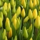 Sping Yellow Tulips - VideoHive Item for Sale