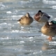Ducks in the Water and on the Ice