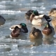 Ducks Romp in the Water and on the Ice