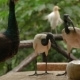 The African Sacred Ibis (Threskiornis Aethiopicus). Pair of Them Drink Fight with Peacock - VideoHive Item for Sale