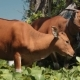 Two Bali Banteng Cows Standing in Grass Eating Leaves Near Trees