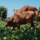 Bali Banteng Cows Eating Grass