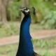 Indian Blue Peafowl or Peacock Pavo Cristatus - VideoHive Item for Sale