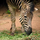 Zebra Eating Plants In Reserve - VideoHive Item for Sale