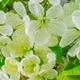 White Cherry Tree Flowers
