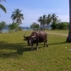Aerial: Bull Grazing on the Field on the Island Near the Beach. - VideoHive Item for Sale