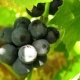 Dark Grapes in the Sun. Fruit and Grape Leaves. - VideoHive Item for Sale