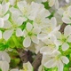 White Cherry Tree Flowers - VideoHive Item for Sale