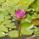 Purple Pink Water Nymphaea in a Pond with a Fountain. Water Garden. Beautiful Flower. Vietnam. - VideoHive Item for Sale