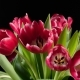 Bouquet of Bright Red Tulips Blooms - VideoHive Item for Sale