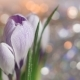 of Tender Crocus Buds - VideoHive Item for Sale