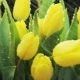 Yellow Tulips Moving in the Rain - VideoHive Item for Sale