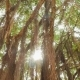 Rays of Light Shine Through the Banyan Tree in the Jungles. Vietnam. - VideoHive Item for Sale