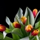 Bouquet of Yellow-red Bright Tulips Rises - VideoHive Item for Sale
