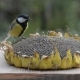Birds Pecking Seeds From Sunflowers
