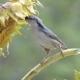 Birds, Pecking Seeds of Sunflower