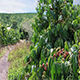Coffee Plantation in Eastern Vietnam