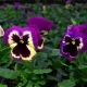 The Flowers of Pansy in a Greenhouse. Growing Ornamental and Flowers for Landscape Design and Gifts