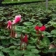 Red Ornamental House Plant Cyclamen Flower Blossoming in Greenhouse Nulled