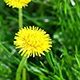 Flower Dandelion Blossom in a Meadow - VideoHive Item for Sale