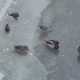 Wild Ducks. Many Mallards Walk on Ice of Partly Frozen Pond