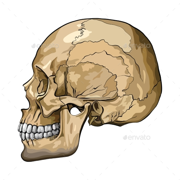 Vector Illustration of a Human Skull - Miscellaneous Vectors