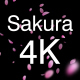 3 Sakura Petals 4K Pack - VideoHive Item for Sale