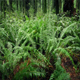 Moving Past Ferns In Verdant Forest