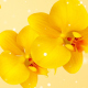 Flowers Orchid Yellow - VideoHive Item for Sale