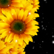 Flowers Sunflowers - VideoHive Item for Sale
