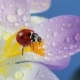 Ladybird on Flower Crocus